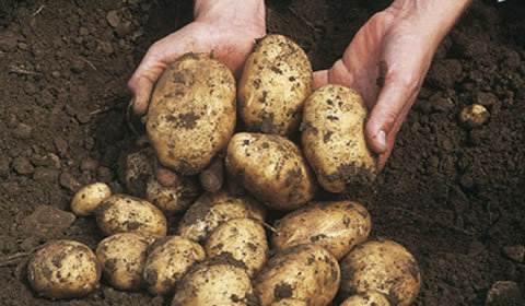 The Complete Potato Growing Guide
