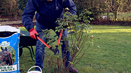 How to Prune your rose bush