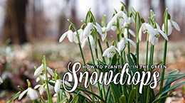 How to plant Snowdrops in the green